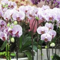 台北の胡蝶蘭